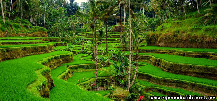 Bali Transport Service: √ How to Get Tegalalang Rice Terrace Easily